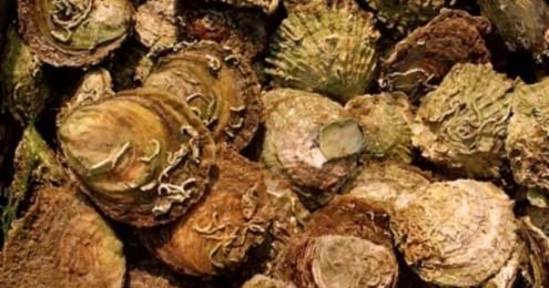 shell fish allergy